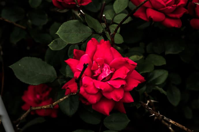 Red Rose Good Evening Image